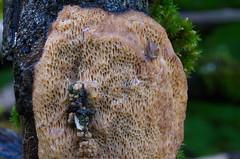 Sarapuu-ebakorgik, oksatorik; Dichomitus campestris; pähkinänkääpä (urmas ojango) Tags: seened fungi polyporales torikulaadsed polyporaceae torikulised dichomitus ebakorgik dichomituscampestris oksatorik sarapuuebakorgik pähkinänkääpä
