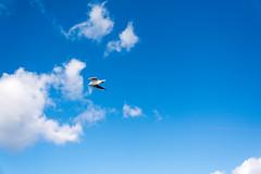 DSC_6830.jpg (kTomoyuki) Tags: 鷗 鴎 seagull カモメ かもめ 島原市 長崎県 日本 jp