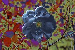 Blue Rose? (maginoz1) Tags: abstract art manipulate contemporary surreal flowers flora foliage summer january 2017 bullarosegarden melbourne victoria australia canon 100d
