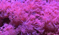 Xenia coral (CU TEO MD) Tags: maryland macro105mm macro macrodreams macrophotography naturebynikon nikon coral ngc twop soe artofimages simplysuperb pink d750