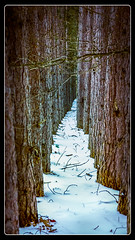 This Path Gets Narrow (downstreamer) Tags: leelanau portoneida sleepingbearnationallakeshore landscape path trees winter maplecity michigan unitedstates