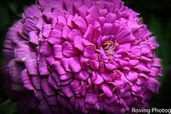 Zinnia (robtm2010) Tags: woodstock vermont usa newengland plant flower zinnia flowerscolors