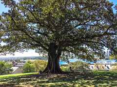 Enjoying the shade, Observatory Park, Sydney (NettyA) Tags: 2017 australia nsw newsouthwales sydney city cbd millerspoint au appleiphone6 observatoryhillpark observatorypark tree moretonbayfig people sitting shade