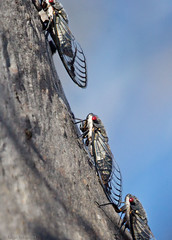Redeye Cicadas (aaardvaark) Tags: 201612071d9680cicada35x3516x23 cicada redeye psaltodamoerens callumbrae cnp canberra act australia