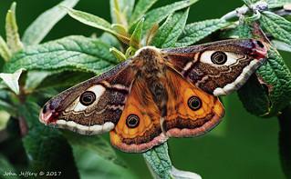 An Emperor Moth - Saturnia pavonia (Saturniidae)