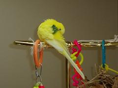 Male budgerigar, budgie (betcsbirds) Tags: budgie parakeet