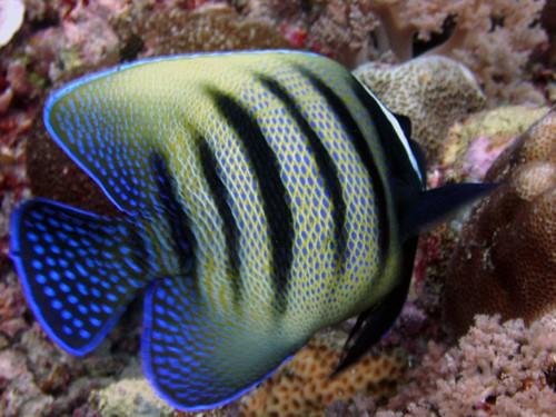 Pez tigre Palau