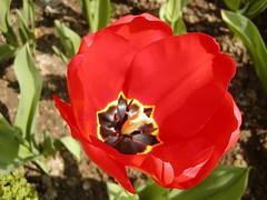 P1010147 (marcolandia72) Tags: flowers primavera spring lucca montecarlo tuscany villa fiori toscana carmignano