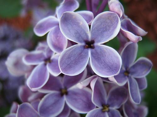 Lilac Find by deu49097