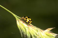 "Fourteen Spot Ladybird (propylea 14 p(2) • <a style=""font-size:0.8em;"" href=""http://www.flickr.com/photos/57024565@N00/167574513/"" target=""_blank"">View on Flickr</a>"