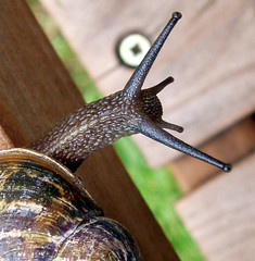 No! Don't look down (cattycamehome) Tags: macro tag3 taggedout garden climb tag2 all tag1 slow bokeh  snail story rights reserved sidney height catherineingram dontlookdown june2006 savesidney abigfave cattycamehome allrightsreserved