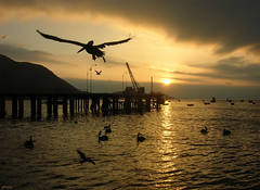 vuelo (Difusa) Tags: chile sunset sea southamerica backlight contraluz atardecer muelle mar flying bravo pelican oneyear sudamerica vuelo suramerica pelcano sudamrica suramrica taltal lmff lmff1 lmff2 lmff3 difusa guena ltytr2 ltytr1 ltytr3 ltytr4 ltytr5 ltytr6 paisfotografico
