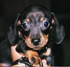 Jimmy Dean at 8 Weeks Old (Tobyotter) Tags: dog pet america puppy hotdog canine dachshund wienerdog weenie teckel mydog k9 runt jimmydean doxie runtofthelitter sausagedog americaamerica cotcmostfavorites petsaroundtheworld