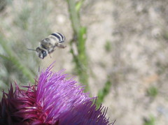 Bee's are attracted to Purple. Is that even a bee? (Jake6000) Tags: plant flower macro flying purple bee nectar pollen
