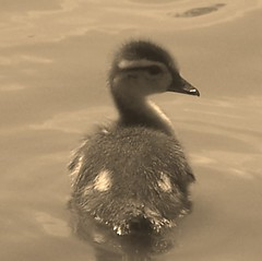 Is this my cutest side? (makeupanid) Tags: baby toronto cute sepia highpark fuzzy duckling awwww duckpond payitforward featheryfriday commentonmycuteness theworldthroughmyeyes 123faves