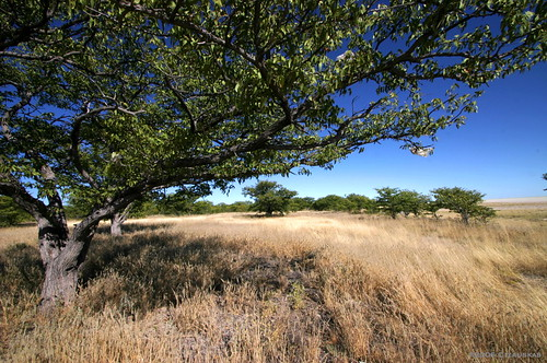 The Mopani Tree.