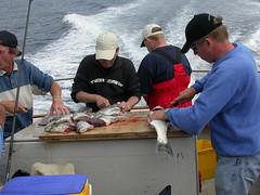 Fish gutting, Exemouth (derekdoom2003) Tags: fishing pollock exemouth