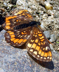 Scarce Fritillary - Hypodryas maturna (hippobosca) Tags: butterfly insect hungary butterflies insects schmetterling fritillary scarcefritillary hypodryasmaturna