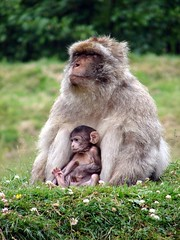 Mother and child II (Vlad the Impala) Tags: baby cute monkey monkeys favourite macaque macaques babymonkey barbarymacaques barbarymacaque specanimal p1f1 mothernatureatherbest
