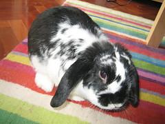 Benito, ese cerebro en la sombra (luisvilla) Tags: rabbit casa conejo benito