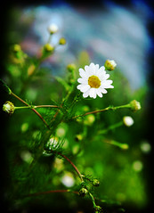 peace of mind (Kelly Angard) Tags: canon colorado peace denver daisy kreativekell within kellya kellyangard thecraftygirl utatafeature efs1755mm kellyafineartphotography digitalrebelxtefs1755mm