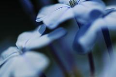 Blue Plumbago (Stephen D Harper) Tags: flowers blue flower macro southafrica botanical bokeh cape plumbago auriculata leadwort blueflower blueflowers birminghambotanicalgardens capensis capeleadwort plumbagocapensis skyflower plumbagoauriculata southafricanflower blueplumbago capeplumbago birminghambotanical southafricabush southafricaflower