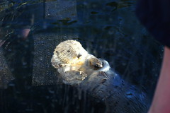 Sea Otter (Bill Liao) Tags: playing canada cute wet water vancouver swimming fur otter seaotter enhydralutris worthabrowse watermammal swimmingotter happyotter happyseaotter cuteotter