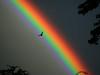 BP716 Rainbow and Bird (listentoreason) Tags: sky color bird nature animal geotagged fly rainbow eau couleurs scenic favorites explore vol oiseau vie arcenciel stumbleupon score50 explored 2pair