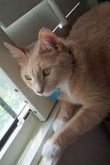 on the prowl (strph) Tags: cat crookshanks 2006 catsandwindows