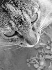 20030802_mixets_016 (Tartanna) Tags: cat gato gat mixet