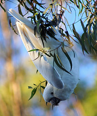 Cockatoo. (Brenda-Starr) Tags: bird nature birds canon native wildlife australian parrot canon350d canonrebel animalplanet cacatua sulphurcrestedcockatoo cacatuagalerita inthewild featheryfriday animaladdiction animalkingdomelite canonzoomef75300mm wildlifewarriors top20birdsshots wildlifeofaustralia