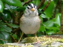 crop2006-07-10 020 (thrushlistener) Tags: bird birds oregon river columbia falls sparrow rivers gorge sparrows gorges multnomah multnomahfalls columbiarivergorge whitecrownedsparrow zonotrichialeucophrys