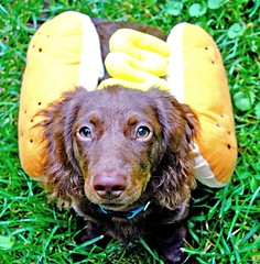 Teddy, the weiner dog (Doxieone) Tags: dog brown fall halloween yellow puppy hotdog costume long teddy chocolate mosaic yes dachshund haired hott mostpopular ggg longhaired ourdogs 34910825 40511922 cmcoct06 500171016 3923198307 teddyset fallhalloween200672008set ddate