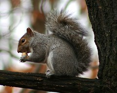 Eastern Gray Squirrel (Hard-Rain) Tags: animal mammal illinois squirrel acorn mammalia rodentia sciuridae sciuruscarolinensis easterngraysquirrel sciurus palosforestpreserve
