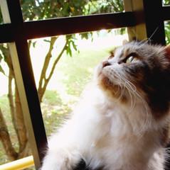 Pongpong ponders. ( _in \ ek{ }) Tags: cat feline kitty mao pondering longhaired pongpong longhairedcalico
