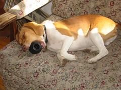 Hank sleeping (xthomson) Tags: sleeping dog cute beagle mouth toy chair bite hank
