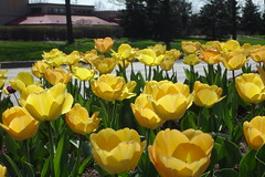 Close up Golden Apeldorn (lcmcolor) Tags: spring beds pansy 2006 pots tulip premium flowerbeds