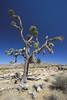 Joshua Tree (jauderho) Tags: california original usa 20d topc25 topv111 canon geotagged topv333 2006 joshuatreenationalpark jauderho geo:lat=34020706 geo:lon=116018844