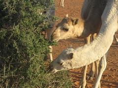 (saudi_sky) Tags: sand desert camel saudi arabia