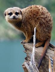 Meerkat (Petey Boy) Tags: animal meerkat mamal