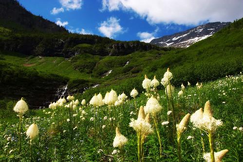 Bear Grasses