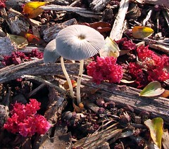 Two tiny mushrooms with crepe myrtle blossoms on ground (Martin LaBar) Tags: pink flowers red brown flower macro green mushroom beautiful yellow closeup mushrooms southcarolina fungi bark fungus toadstool lovely mulch toadstools crepemyrtle primerplano crapemyrtle lythraceae pickenscounty thecontinuum 2for2 a1f1 p1f1
