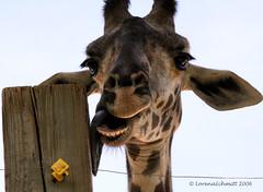 Thumb Jirafa ayuda a escapar a animales de un circo