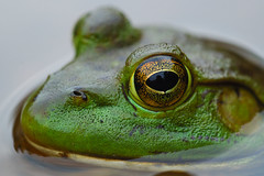 I'm Watching You! (azmuskoka) Tags: summer green 2006 frog bullfrog 105mm specanimal animalkingdomelite kawagamalake