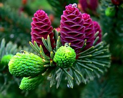 Spruce Budding (Rock Steady Images) Tags: macro tree green floral canon is cone powershot 100views 200views s3 spruce 50views naturesfinest 25views 7pointsystem bypaulchambers rocksteadyimages