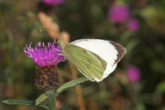"""Large White Butterfly (pieris brassic(1) • <a style=""""font-size:0.8em;"""" href=""""http://www.flickr.com/photos/57024565@N00/204966587/"""" target=""""_blank"""">View on Flickr</a>"""