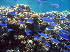 Red Sea fusilier (Caesio suevica) (Arne Kuilman) Tags: blue school fish coral blauw underwater redsea egypt sharmelsheikh scuba diving reef endemic fusilier vissen a75 endemisch caesiosuevica