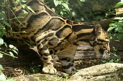 Clouded Leopard (tim ellis) Tags: animal cat leopard carnivore cloudedleopard santago neofelisnebulosa bigpicture2008 flashswap flashswapexhibit