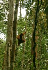 Charging Through the Rainforest (bertrudestein) Tags: travel trees wild nature animal monkey rainforest asia southeastasia wildlife jungle sarawak malaysia borneo orangutan tropical kuching primates rehabilitation semmengoh