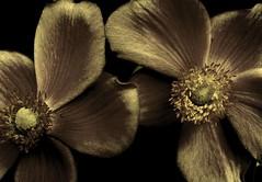 Velvet Ranunculae (hurleygurley) Tags: flowers two brown macro dark ilovenature interestingness velvet explore duotone hg barbarasgarden botanica pp excellence fleurnoir ranunculae elisabethfeldman